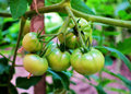 Growing tomatoes young organic on branch in the garden Stock Photo