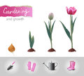 Growing tulip and gardening icons Stock Photos