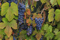 Growing wine grapes hanging from the stem surrounded by colourf a photo of dark blue stalk beautiful green and red leaves Stock Photo