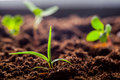 Growing Young Green Corn Seedling Sprouts Royalty Free Stock Photo