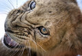 Growl lion cub a growling Stock Image