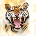 Growl siberian tiger young in action of Royalty Free Stock Image