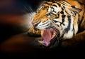 Growl siberian tiger Royalty Free Stock Photo