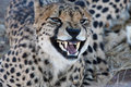 Growling Cheetah Stock Images