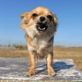 Growling chihuahua Stock Images