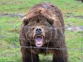 Growling Kodiak Bear Stock Photos