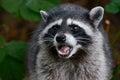 Growling raccoon a baring it s teeth Royalty Free Stock Photos