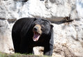 Growling sun bear a male bornean growls Stock Photography