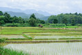 Grown rice field fresh over the mountain range background Stock Photography