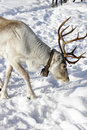 Grown up adult white reindeer rangifer tarandus bell north finland winter wonderland finnish lapland lots snow Stock Photos