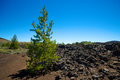 Growth in Lava Fields Royalty Free Stock Photo
