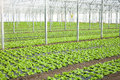Growth of lettuce inside a greenhouse organic Royalty Free Stock Photos