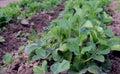 Growth potato herb natural grow field gardening bush forest tree organic spring lettuce farm plants fresh leaves vegetable green s