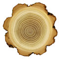 Growth rings of acacia tree - cross section Royalty Free Stock Photo