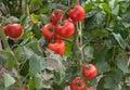 Growth tomato Royalty Free Stock Image