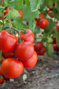 Growth tomato Stock Photography