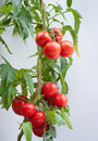 Growth tomato Royalty Free Stock Photography