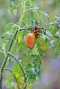 Growth tomato branch Royalty Free Stock Images