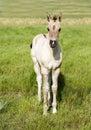 Cavallo puledro