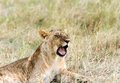A grumbling lion cub in the grassland Royalty Free Stock Photography