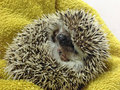 Grumpy baby hedgehog in a ball symbolizing grumpiness moods and temper Stock Photos