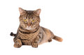 A grumpy looking tabby cat laying on white background Stock Images