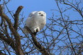 Grumpy snowy owl Royalty Free Stock Photo