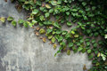 Grunge cement wall texture and green leaf Ivy with space. Royalty Free Stock Photo