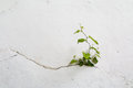 Grunge concrete wall and green plant, background and texture. vintage tone Royalty Free Stock Photo