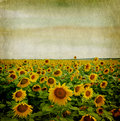 Grunge paper background with sunflower Stock Photo