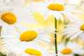 Grunge stained paper background with camomile Royalty Free Stock Photo