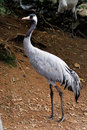 Grus japonensis Royalty Free Stock Images