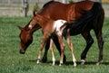 Égua e potro do Appaloosa Imagem de Stock Royalty Free
