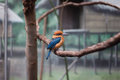 Guam kingfisher an endangered observing its surroundings at the philadelphia zoo Royalty Free Stock Photos