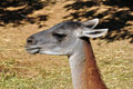 Guanaco animal lama guanicoe camelid animalhead closeup Stock Photo