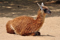 Guanaco camelid animal lama guanicoe resting on the ground on sunny day Stock Photo