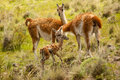 Guanaco family two adult guanacos caring for new born chulengo in patagonia Stock Photos