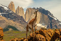 Guanaco horizontal composition of adult standing on rocky ledge in front of torres del paine towers Stock Photos