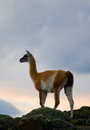Guanaco stands on the crest of the mountain backdrop of snowy peaks. Torres del Paine. Chile. Royalty Free Stock Photo