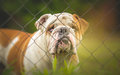 Guard dog behind the fence Royalty Free Stock Photo