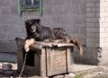 Guard dog on duty Royalty Free Stock Photo