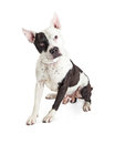 Guard Dog Pit Bull Over White Royalty Free Stock Photo