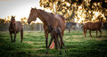 On guard a thoroughbred broodmare guarding her newborn filly foal from other broodmares Royalty Free Stock Image
