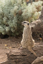 Guarding meerkat sitting on tree trunk Royalty Free Stock Photo