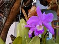 Guarianthe is a purple orchids flower. Guaria morada orchid Royalty Free Stock Photo