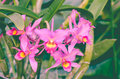 Guarianthe x guatemalensis orchid Royalty Free Stock Photo