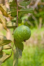 Guava fruit on the tree Royalty Free Stock Image