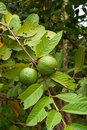 Guava tropical fruit on the tree Stock Photos