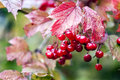 Guelder rose berries arrow wood tree photo of guilder often used in ethnoscience or traditional homeopathy bright juicy red sweet Stock Photography