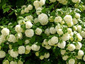Guelder-rose of Buldonezh - the Snow sphere Royalty Free Stock Photo
